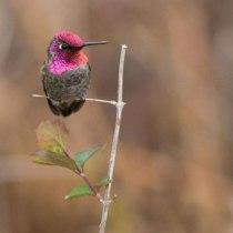 Hummingbird -- perched Anna's hummingbird -- Calypte anna