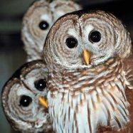 owls -- thegoddesstouch